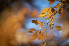 Beech leaves in autumn. During the autumn the beech leaves get their beautiful yellow-brown color, a beautiful contrast with a blue sky. A grateful fact to stock photography