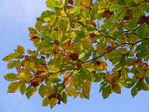 Beech leaves Royalty Free Stock Photography