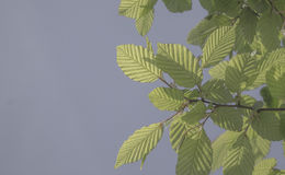 Beech leaves on a background of the blue sky Royalty Free Stock Photo