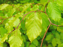 Beech leaves Stock Photography