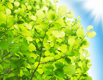 Beech Leaves Branches in the Sun Royalty Free Stock Photography