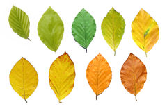 Beech leaves during the course of the year Stock Photos