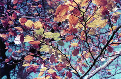 Beech Leaves (Fagus Sylvatica). An array of colourful Beech leaves Stock Image