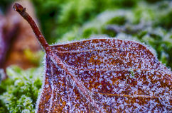 Beech leaves frozen Stock Image