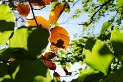 Beech leaves growing on tree branch. Green and brown dried beech foliage backlit by the sun against blue sky. Royalty Free Stock Photography