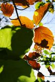 Beech leaves growing on tree branch. Green and brown dried beech foliage backlit by the sun against blue sky. Stock Images