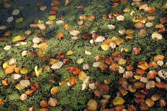 Beech leaves and lesser duckweed Royalty Free Stock Photo