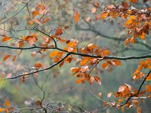 Beech Leaves in Rain in English Woodland stock images