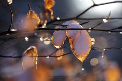 Beech leaves with snow and drops of dew Royalty Free Stock Photography