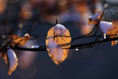 Beech leaves with snow and drops of dew Stock Images