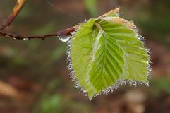 Beech leaves in the spring Royalty Free Stock Photos