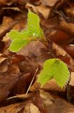 Beech leaves in the spring Royalty Free Stock Images
