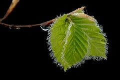 Beech leaves in the spring Stock Image