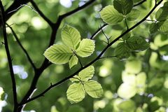 Beech leaves in spring time Royalty Free Stock Photography