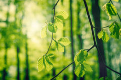 Beech leaves at springtime Royalty Free Stock Photos