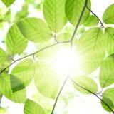 Beech leaves and sunbeam Stock Photos