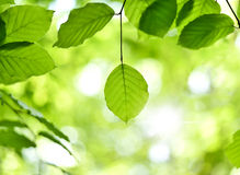 Beech leaves and sunbeam Royalty Free Stock Image
