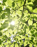 Beech leaves and sunbeam Royalty Free Stock Photo