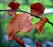 Beech leaves Royalty Free Stock Photos