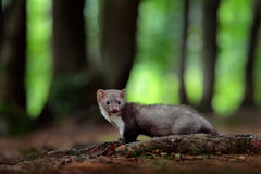 Beech marten, detail portrait of forest animal. Small predator in the nature habitat. Wildlife scene, Germany. Trees with marten. Stock Photos