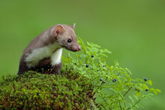 Beech marten, Martes foina, and bilberry with clear green background. Stone marten, detail portrait of forest animal. Small predat Stock Photos