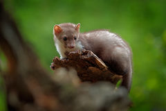 Beech marten, Martes foina, with clear green background. Stone marten, detail portrait. Small predator sitting on the tree trunk i Royalty Free Stock Photography