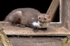 Beech marten resting in window sill. Beech Marten (Martes foina) also known as Stone Marten or House marten. resting and relaxing in window sill of barn Stock Images