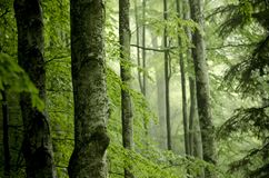 Beech misty forest with big trunks in foreground. In mountains, in Transylvania, Romania Royalty Free Stock Photos