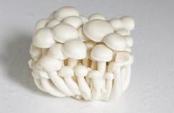 Beech mushroom Stock Photography