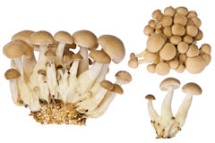 Beech Mushrooms (hupsizygus tessellatus) Stock Photos
