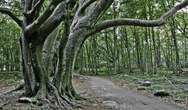 Beech nut forest, Skane, Sweden. In the summer Stock Photography