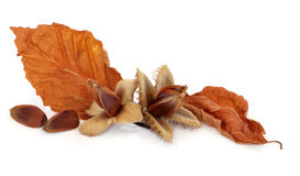 Beech Nuts. With leaf sprigs over white background Royalty Free Stock Photos