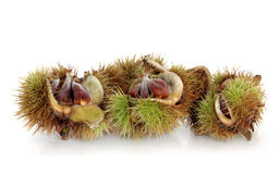 Beech Nuts. In spiky shell over white background Royalty Free Stock Images