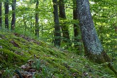 Beech and Oak trees at mossy downhill in forest royalty free stock photos