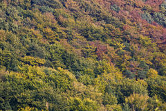 Beech and pine forest in autumn colors Stock Photography
