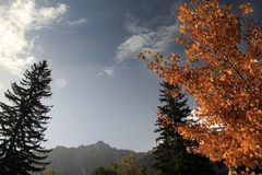 Beech and pine trees in Chamonix, France in autumn Royalty Free Stock Photos