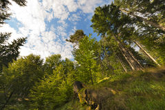 Beech and Pines from bottom view. Beech and pines green forest in spring from bottom view Stock Photography