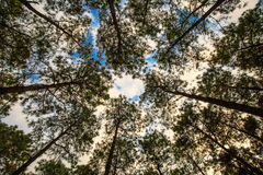 Beech and Pines from bottom view. Beech and pines green forest in spring from bottom view Stock Image