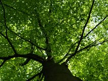 Beech reaching for light Royalty Free Stock Image