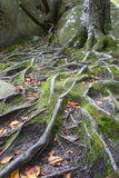 Beech roots among the rocks and moss Royalty Free Stock Photo