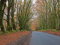 Beech Route. Road with a natural canopy of beech trees (Fagus sylvaticus) in late autumn in North Devon, England Royalty Free Stock Photos