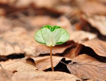 Beech seedling Stock Image