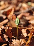 Beech seedling Royalty Free Stock Images