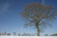 Beech in snow Royalty Free Stock Photography