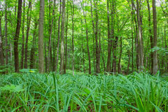 Beech tall green trees and grass in spring forest Stock Photo