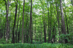 Beech tall green trees and grass in spring forest Royalty Free Stock Images