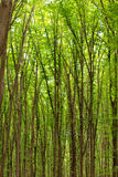Beech tall green trees in spring forest Stock Photography