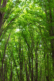 Beech tall green trees in summer forest Royalty Free Stock Images