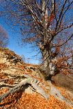 Beech tree Royalty Free Stock Image