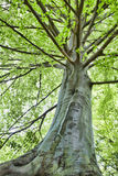 Beech tree Stock Photos